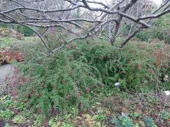 Fuchsia magellanica -- Fuchsia magellanica