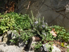 Flowering rosemary and Oxalis pes-caprae -- Flowering rosemary and Oxalis pes-caprae