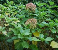 Hydrangea macrophylla -- Hydrangea macrophylla
