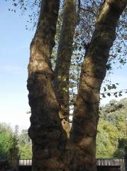 Plane tree (Platanus) -- Plane tree (Platanus)