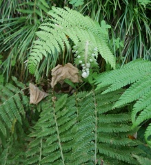 Edible Fernanda -- Being called Fernanda and interested in wild edibles, it's not at all surprising she would eat ferns, including this one....not sure which species..