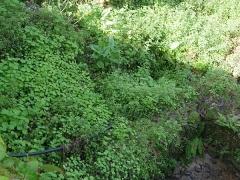 Nasturtium (Tropaeolum) is another invasive edible! -- Nasturtium (Tropaeolum) is another invasive edible!