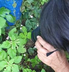 Urtica / Nettle in flower -- Urtica / Nettle in flower