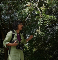Pistacia spp. -- Fernanda ID's this tree...next to a fifteen metre drop!