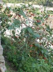 Tree Tomato, Cyphomandra betacea  -- Tree Tomato, Cyphomandra betacea