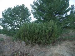 Dwarf mountain pine, Pinus mugo -- Dwarf mountain pine, Pinus mugo, is the highest elevation pine in Bulgaria
