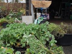 Daubenton perennial kale -- Daubenton perennial kale
