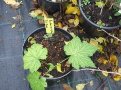 Rubus parviflorus -- Rubus parviflorus
