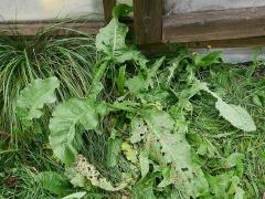 Rumex longifolius, an important wild edible in Iceland -- Rumex longifolius, an important wild edible in Iceland