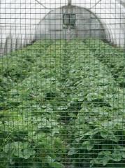 Strawberry production -- Strawberry production