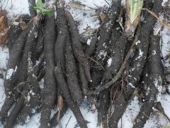 Scorzonera roots -- Scorzonera roots