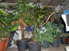 Less hardy pot plants and perennial kales -- Another room for storing less hardy pot plants and perennial kales