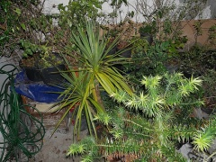 Cordyline australis and Brazilian Monkey Puzzle (my Xmas tree) -- Cordyline australis and Brazilian Monkey Puzzle (my Xmas tree)