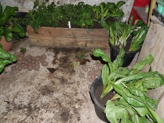 Chicories for forcing -- Chicories for forcing
