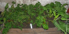 Parsley and perpetual spinach -- Parsley and swiss chard moved into the potato cellar  where the temperature is about 5C and will fall to about 2C in midwinter. I can continue to harvest and they will reprout when the temperature increases