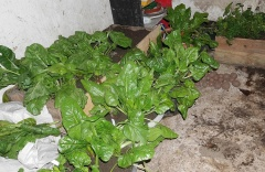 Swiss chard / Perpetual spinach -- Swiss chard / Perpetual spinach