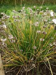 Allium schoenoprasum, chives -- Allium schoenoprasum, chives in seed