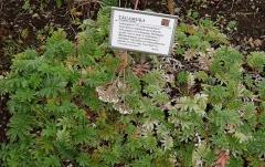 Argentina anserina, silverweed -- Argentina anserina, silverweed