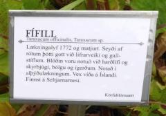 Taraxacum, dandelion -- Taraxacum, dandelion