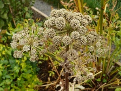 Angelica archangelica -- Angelica archangelica, one of the 80 in my book