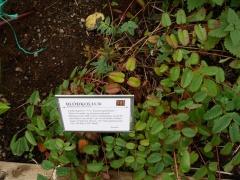 Sanguisorba officinalis -- Sanguisorba officinalis