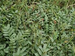 Sanguisorba alpina -- Sanguisorba alpina