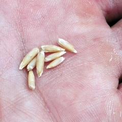 Perennial Rye -- Perennial Rye