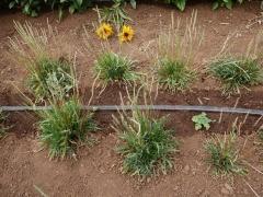 Plantago coronopus, minutina -- Plantago coronopus, Minutina (one of the 80 in my book Around the world in 80 plants) https://www.adaptiveseeds.com/plantain-bucks-horn-organic