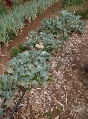 Sea kale, Crambe maritima -- Good to see an old friend Sea kale, Crambe maritima, although not looking at its best at this time of year