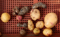 Potato diversity -- Chris Homanics was renting a field from Andrew and Sarah to continue his potato breeding work...here's just a small sample...