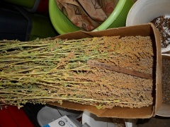 Quinoa Dave 407 -- Quinoa Dave 407 is the same variety that I started off with back around 1990...I now call my selection Stephe...