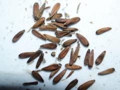 Aster scaber seeds -- Aster scaber seeds