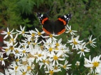 Red admiral and Aster scaber