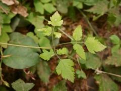 Osmorhiza chilensis -- Osmorhiza chilensis