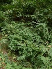 Rubus spectabilis -- Rubus spectabilis