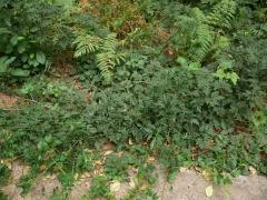 Rubus laciniatus -- Rubus laciniatus