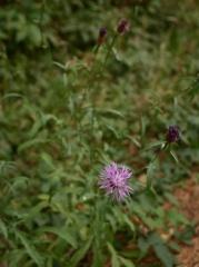 Centaurea spp. -- Centaurea spp.