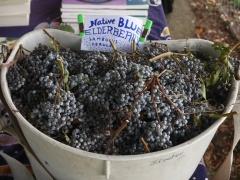 Skeeter's Blue Elderberries -- Skeeter's Blue Elderberries (Sambucus caerulea); Skeeter is Northwest Michael Pilarski. Somehow, I didn't manage to get a picture of the man :(