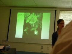 Grindelia integrifolia -- Grindelia integrifolia