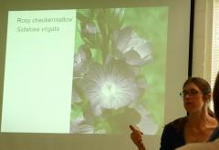 Sidalcea virgata -- Sidalcea virgata