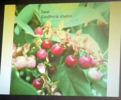 Gaultheria shallon -- Gaultheria shallon