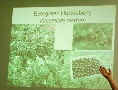 Vaccinium ovatum -- Vaccinium ovatum