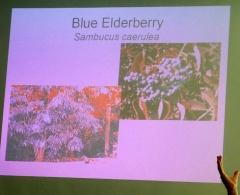 Sambucus caerulea -- Sambucus caerulea
