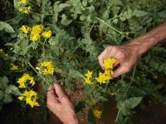 Solanum habrochaites v. glabratum -- Solanum habrochaites v. glabratum