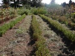 Rows of oca -- Rows of oca