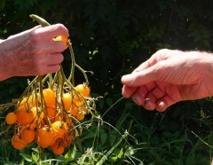 Orange Chilense F1 hybrid Solanum chilense -- Orange Chilense F1 hybrid Solanum chilense: .the original Solanum chilense seeds came from the USDA Grin Network