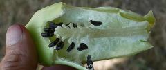 Achocha, Cyclanthera pedata -- Achocha, Cyclanthera pedata