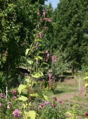 Persicaria orientalis -- Persicaria orientalis