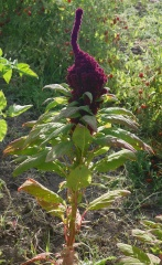 Elephant amaranth -- Elephant amaranth