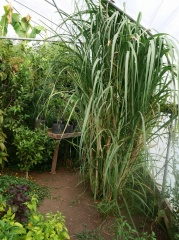 Sugar cane -- Sugar cane